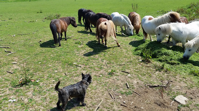 Miniture Ponies and Small Dog